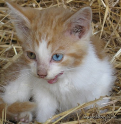 kitten with one blue eye and one green eye