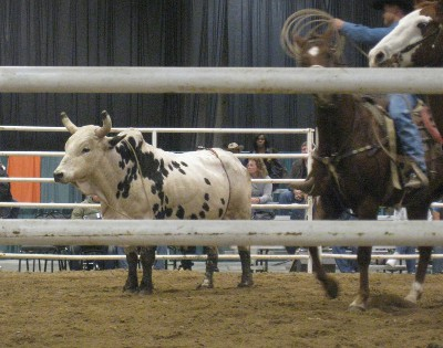 photo of rodeo bull