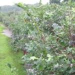 picture of a blueberry bush