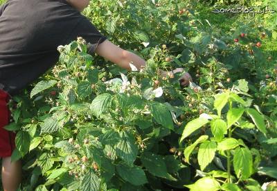 picture of children picking raspberries