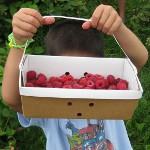 picture of a u-pick raspberry farm