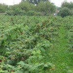 picture of a u-pick raspberry farm