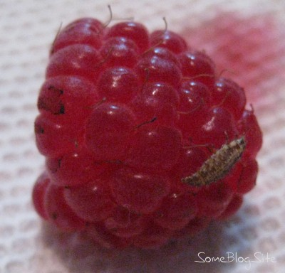 picture of a bug on a fresh raspberry
