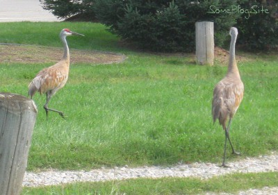 picture of two sandhill cranes on a gravel driveway