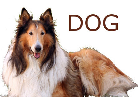 photo of a collie dog