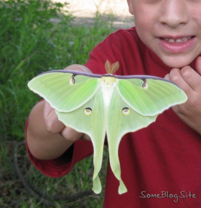 back of Moon Moth (Actias Luna)