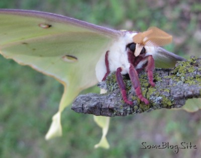 face and front of Moon Moth (Actias Luna)