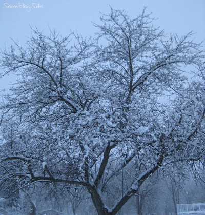 picture of snow covering an apple tree