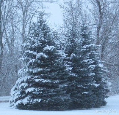 picture of winter snow a few pine trees