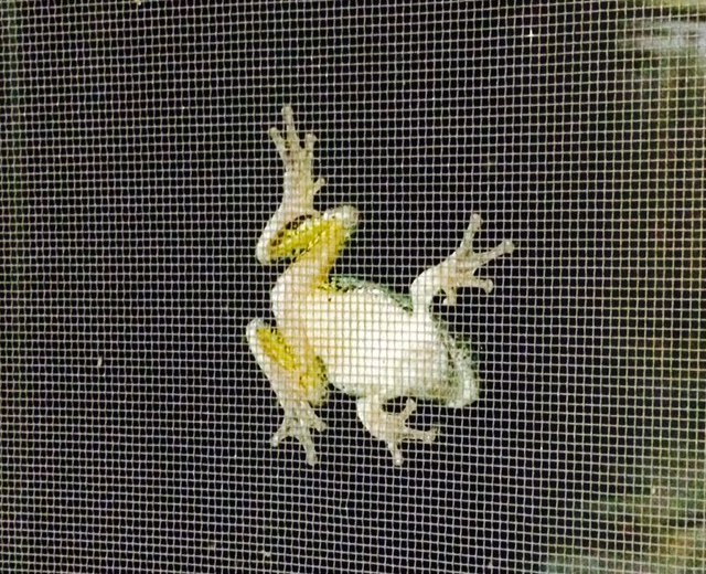 photo of a frog climbing a window screen