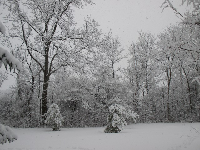 image of snow-covered trees in our back yard