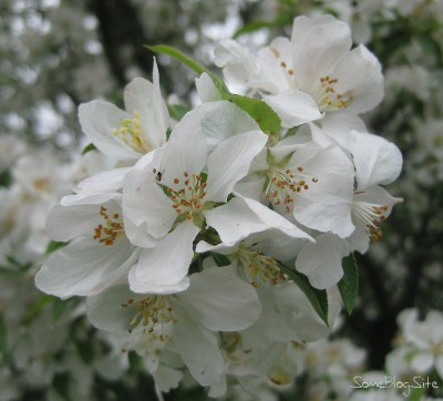 close-up picture of a apple tree blossoms